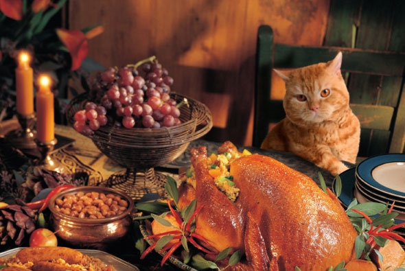 635832155968266983799192786_590x395_thanksgiving_cat-thumb-590x395-88228