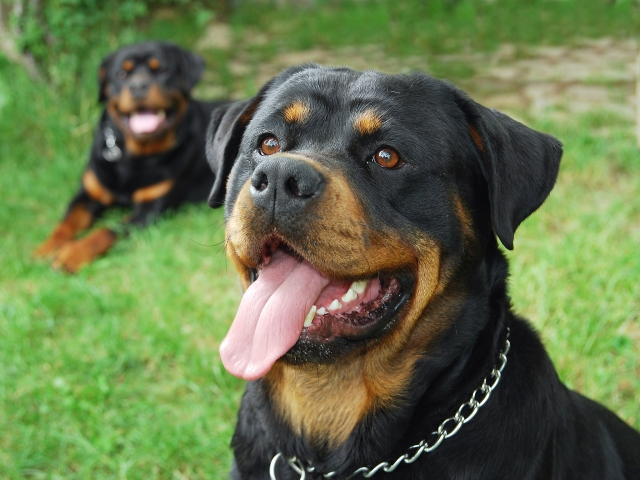 Rottweilers couple